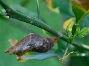 Our Ecosystem-Swallowtail-Butterfly-Australia-Chrysalis-Pupa-Orchard-Swallowtail-chrysalis-Pupa-The-Gap-Brisbane-Queensland-Australia