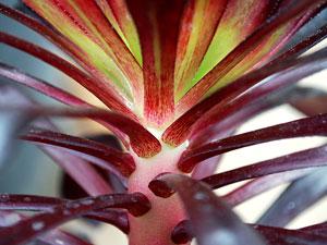 Our Plants To Live By-Aeonium-Purple-Black-Burgundy-Red-Leaves-Green-Succulent-Sun-Aeonium-arboreum-var-atropurpureum-Zwartkop-Schwarzkopf-Black-Rose-Shrub-Branching-Drought-Tolerant-Los-Angeles-California